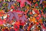 Arde rojo y vivo el fuego; con una llamarada de hojas, el arce saluda la llegada del invierno.